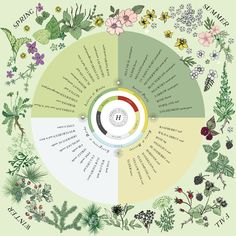 This seasonal foraging poster serves as a handy reference of common wild plants to forage and corresponding seasonal energetic for the year. Herbs For Health, For Your Health, Urban Homesteading, Healing Herbs, Natural Healing, Plant Illustration, Forest School, Herbal Medicine, Natural Medicine