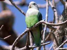 Grey-headed Lovebird   Madagascar