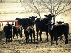 Texas Country Living on Etsy, $15.00 #texas #texasphotography #cattle #texascattle