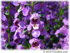Angelonia - perennial in Zones 9-11.  Once established, pest & drought tolerant.