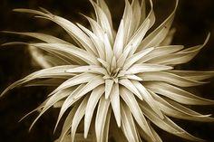 Sepia Plant Spiral by Christina Rollo