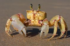 Super close-up yellow ghost crab - omg, I just want to give 'im a big smooch! He's so cute!!