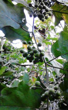 Jamaican Sweetsop Susumber (gully beans)...