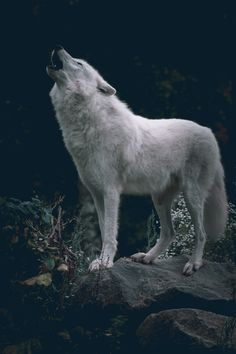 howling wolf | animal + wildlife photography #wolves