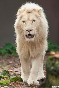 King of the Jungle by Bert Broers
