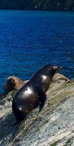 Milford Sound - Januar 2016. Seelöwen im Fjordland. Neuseeland