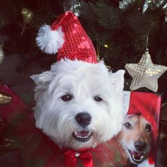 Hiya fwends! Did I tell yoo I do impersonashins? Well I doin one now ov da doggy on da Advent Calenda behind me He got his cwismas hat on too!! Hope yoo haffin soopa weekend fwends be kind to one anovver #westhighlandwhiteterrier #westie #westiegram #westigram #dogsofig #whwt #westieapproved #westielove #westietude #westiesofinstagram #westiemoments #cutedog #cutewestie #dogsofinstagram #barkbox #pupshow #terrier #dogsofmelbourne #melbournedogs #lacyandpaws #dostagram #puppytales #instawe...