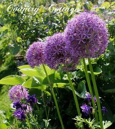 repinned by www.motherearthproducts.com.  Alliums & Lupines in my June garden