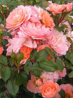 Apricot Drift rose (Other colors available: Red, Coral, Pink, White, sometimes Yellow) Love Rose, Pretty Flowers, Amazing Flowers, Beautiful Roses, Beautiful Gardens, Drift Roses, Ronsard Rose, Growing Roses, Rose Bush
