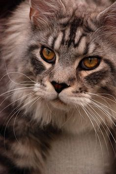 Jarvis 17 months old | Flickr - Photo Sharing! http://www.mainecoonguide.com/where-to-find-maine-coon-kittens-for-sale/