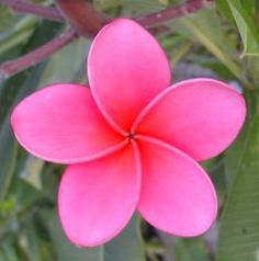 plumeria tattoo - Google Search