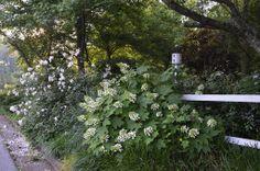 "Oakleaf Hydrangea ""Sikes Dwarf"" and Rose ""New Dawn"" (Phillip Oliver/Michael Scott garden, Florence, Alabama)"