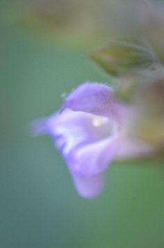 Original photo of a dainty purple wildflower against a dreamy blue green pond by Lynn Langmade.  #flower photography #purple #flower #wildflower #wildflowers #green #flowers #wildflower art # #purple and green #lynnlangmade #soft #dreamy #macro #macro photography #purple decor #green wall decor