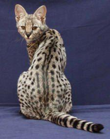 The Savannah cat's beautiful spotting. :)