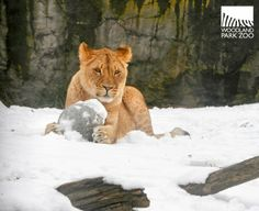 The lion cubs discovered snow is the perfect landing pad for pounces.