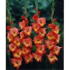 gladiolas - plant them towards the back of a border.  They might need staking.