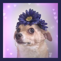 #LUVIT  Happy National Dog Day from our Kitty Katrina Fur Baby!  #NationalDogDay #NationalDogDay #dog #dogs #doglover #doglovers #dogloverforlife #animal #animals #animallover #flowerchild #flowerchildren #ledflowercrown #flowerheadband #flowerhalo #floralhalo #flowercrown #flowercrowns