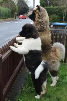 Akita - the second one is such a teddy bear! Akita Puppies, Akita Dog, Cute Puppies, Cute Dogs, Dogs And Puppies, Japanese Akita, Japanese Dogs, Big Dogs, I Love Dogs