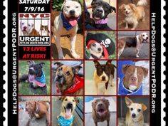 """7/9 Please Share! SUPER URGENT tap picture  BEAUTIFUL LIVES OF DOGS TO SAVE 7/9TO BE DESTROYED STARTING 12NOON PLEASE SAVE US WE ONLY HAVE A FEW MINS / HOURS TO LIVE BEFORE WE GO TO DOGGY HEAVEN THANK YOU PLEASE REPIN AND SHARE THIS INFORMATION  TIME IS CRITICAL THANK YOU IRISH : . Please share! The shelter closes at 8pm. Go to the ACC website( ASAP to adopt a PUBLIC LIST dog (noted with a """"P"""" on their profile) and/or work with a rescue group if you can adopt/foster ANY of our dogs on the…"""