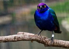 """""""Purple Glossy Starling""""  (photo by ed o'keefe)"""