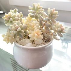 We love vibrant, colorful succulents, but pale ones like this are pretty gorgeous too! 😍  What do you guys think of pale, pastel succulents?   Photo by Succulent Care, Succulent Pots, Planting Succulents, Planting Flowers, Indoor Succulents, Propagating Succulents, Succulents Drawing, Rare Succulents, Suculentas Interior