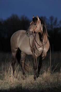 """Twister"" is a gorgeous 1995 Silver Grulla AQHA Stallion. Twister has high dun factor with lots of tiger stripes. He's also homozygous for bllack so he doesn't produce red based offspring."