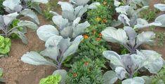 Növénytársítás a zöldséges kertben » Okos Kert és Otthon Magazin Garden Cottage, Garden Landscaping, Landscape, Vegetables, Gardening, Food, Lawn And Garden, Front Yard Landscaping, Scenery