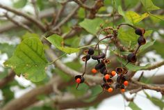 Erythrina Lysistemon       pods, seeds and leaves        Common Coral Tree           Gewone Koraalboom     6 m      S A no 245