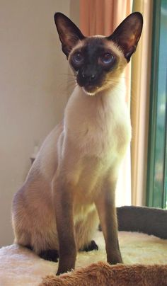 Gorgeously balanced chocolate point Siamese cat