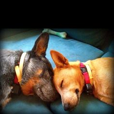 Best of friends. Cattle dogs.