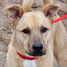 Meet Samuel Clemens a Petfinder adoptable Shepherd Dog | Auburn, NE | Sammy came from a family who loved him but could not keep him after he began to display some...