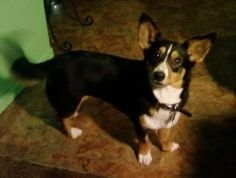 Cardigan Welsh Corgi - Click image to find more Animals Pinterest pins