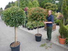 Bildresultat för Viburnum tinus 'Eve Price' tree