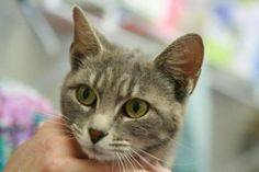 Kayla is an adoptable Domestic Short Hair-Gray Cat in Frankfort, KY. Foster or adopt today - Transportation may be available - just ask. Contact: lonearrow@bellsouth.net Franklin County Humane Society...      HELP! URGENT NEED FOR FOSTERS AND ADOPTERS! THE SHELTER IS CROWDED!