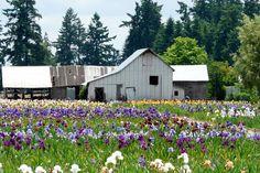 iris fields Brookings Oregon Brookings Oregon, Ivy Rose, Oregon Vacation, Oregon Coast, Newport, West Coast, Wilderness, Fields, Fences