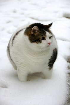 Fat cat playing in the snow