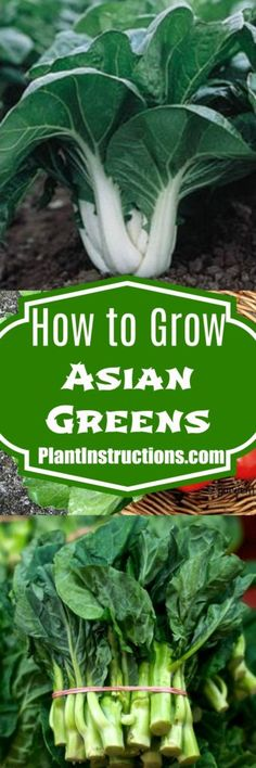 Learn how to grow Asian greens right in your garden. Asian greens include varieties such as Chinese cabbage, bok choy, and mustard spinach. Asian Garden, Veg Garden, Garden Pests, Vegetable Gardening, Growing Vegetables In Pots, Planting Vegetables, Chinese Greens, Chinese Cabbage, Vegetable Garden For Beginners