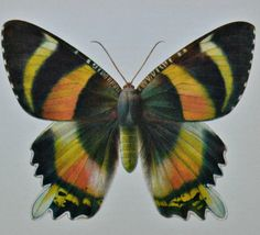 Vintage color book plate. Old print. Butterfly by AntiqueBookPlate