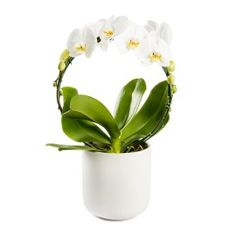 Dutch Circle Orchid | Woolworths.co.za