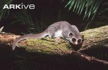 Western fat-tailed dwarf lemur on tree branch