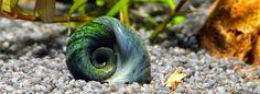 Nano-Aquarium für Anfänger: Posthornschnecken richtig füttern! Poröse Gehäuse müssen nicht sein!