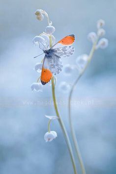 Orange-tip butterfly's wings spread out