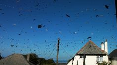 An hour of birds all at once. Filmed an hour of footage from my window then used the sky as a blue screen to composite all the birds that fl...