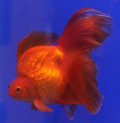 Japanese Ryukin Goldfish Ryukin Goldfish With Amazing