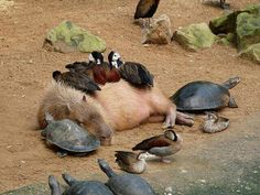 Capybara and friends