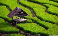 Green_Rice_Field_Landscape_Picture_HD_247818196.jpg 2.560×1.600 piksel