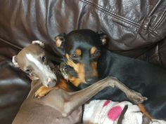 Luv me brother....Min Pin Boss Spyker
