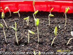 rasaduri de rosii 1 Seeds, Gardening, Plant, Lawn And Garden, Horticulture