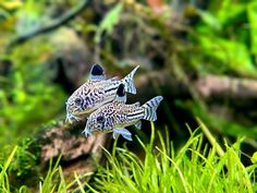 Tropical Fish Aquarium, Freshwater Aquarium Fish, Planted Aquarium, Fish Aquariums, Aquarium Design, Aquarium Ideas, Water Terrarium, Terrarium Plants, Fish Tank Design