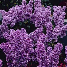 Lovely Purple Lilacs